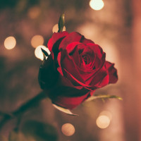 Valentines  Love  Red  Rose Profile Picture