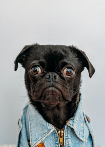 Black  Cute  Dog  Jeans Status Picture